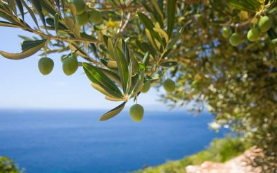 World championship in Olive picking on Brac island