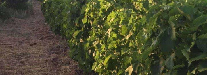 Wine tour in Kastela from Split including dinner and wine tasting